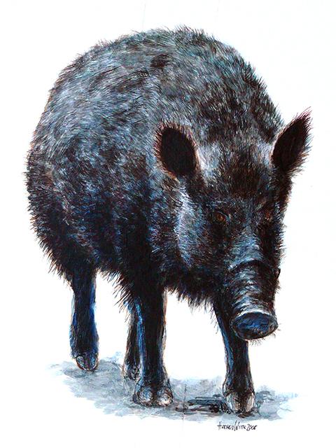 Wildschwein (Mischtechnik auf Papier)